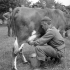 Private F.G.J. Lane of The Highland Light Infantry of Canada milking Rosie, one of the cows who was trapped between German and Canadian lines in Normandy, France, 20 June 1944.